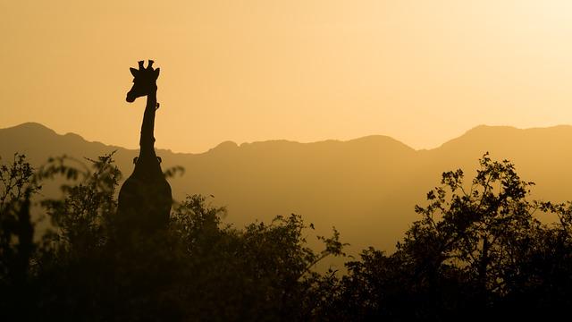 žirafa nad stromy