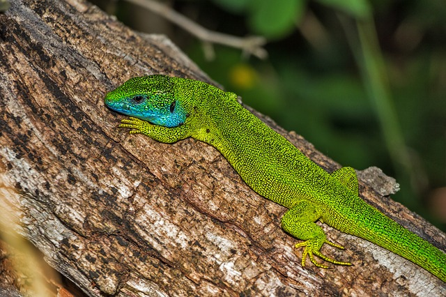 zelená ještěrka