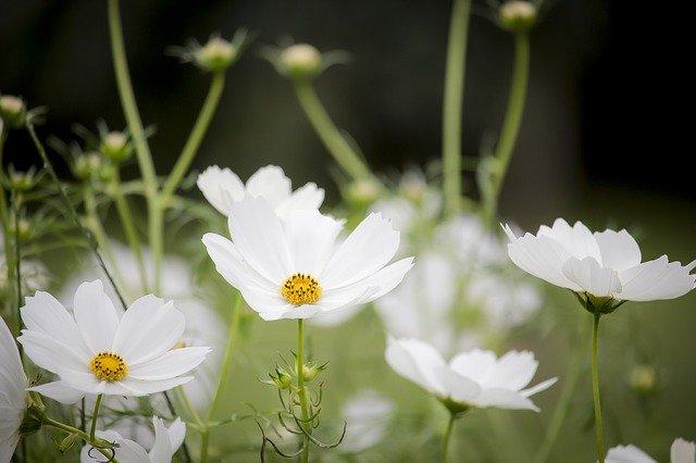 luční květinky