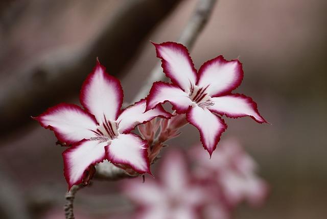 květina impala lily